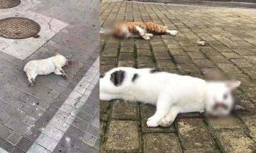 【武漢肺炎】誤信寵物能感染肺炎病毒傳言 冷血主人扔5小貓落街慘死|抗疫特集