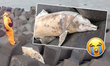 保育級海豚擱淺橫屍堤壩 全身纏繞流刺網 傷痕累累