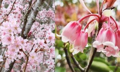 香港賞花好去處|7個賞花地點路線推介-吊鐘花/杜鵑/富士櫻|親子好去處