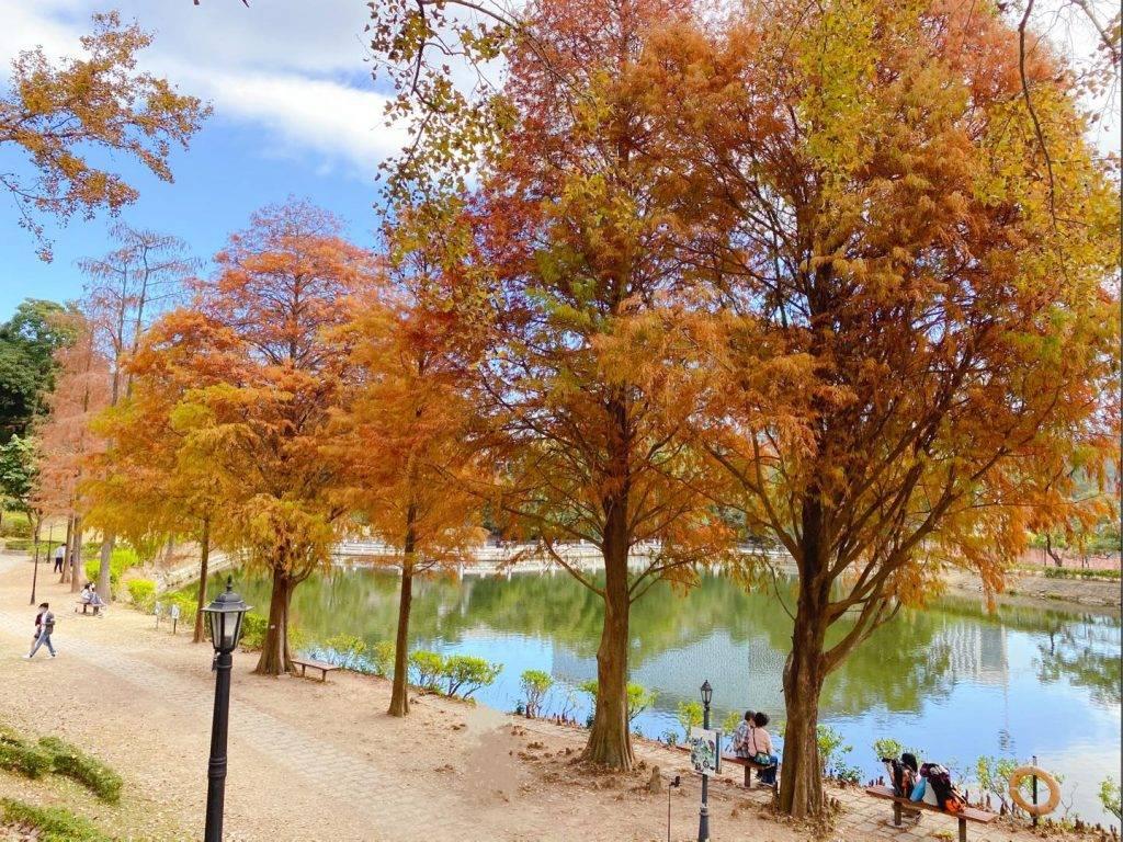 未圓湖旁的小徑種有一排楓香樹