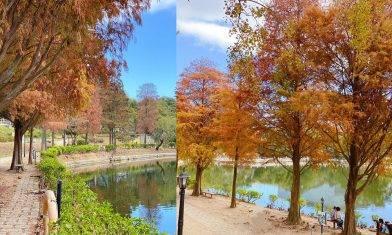 中大未圓湖  紅葉落羽松轉紅  小橋+湖畔美景  郊遊好去處|親子好去處