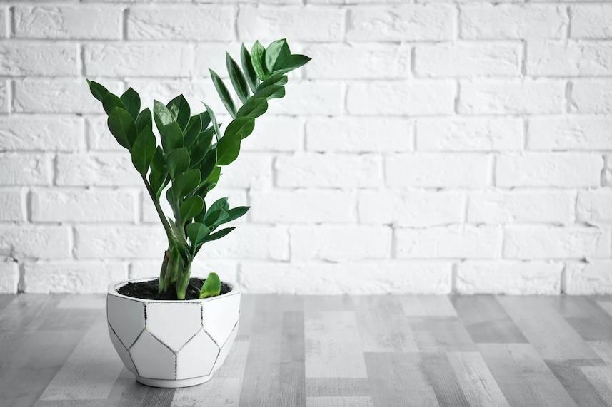 要擺大型植物,例如金錢樹、萬年青、招財樹