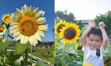 元朗信芯園向日葵盛放 3萬呎花海  香檳色太陽花首出場  附交通方法+入場費|親子好去處
