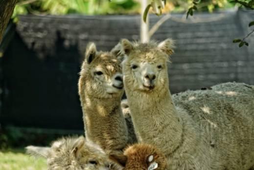 羊駝性格溫順外表可愛,大家購買飼料後,餵飼牠們一定很治癒。(圖片授權: 有機薈低碳農莊)