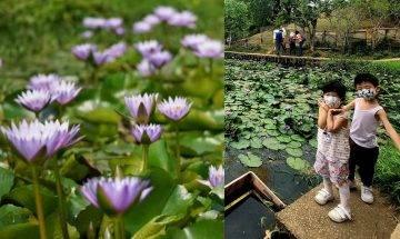 深井清快塘村喜香農莊 免費入場 蓮花池+紫藤花+勒杜鵑 交通路線|親子好去處