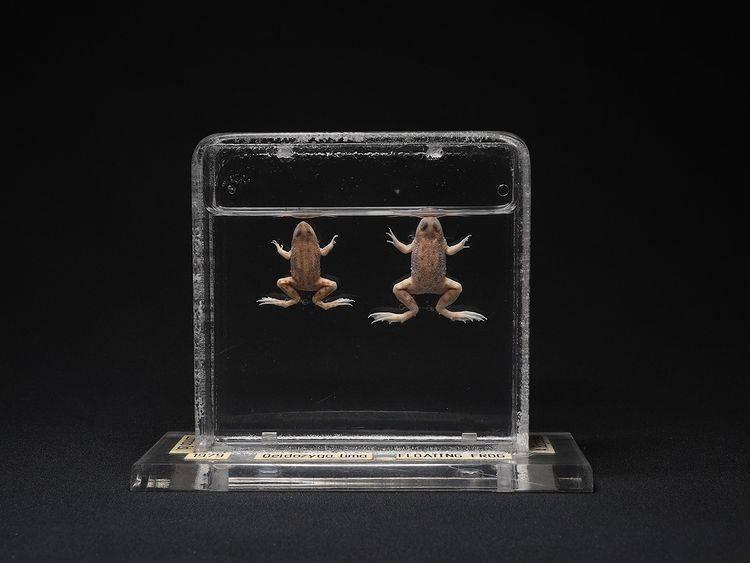 尖舌浮蛙的漂浮蛙生