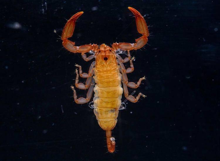 分佈於亞洲和大洋洲的八重山蠍
